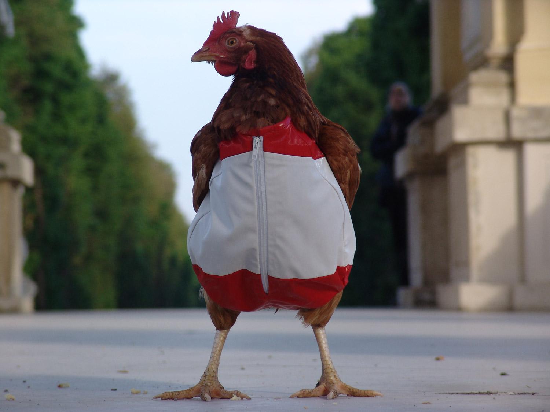 ╦☺•••☺♦◘○♠♠♥==  الصور المضحكة (1) ===ôôô♂•••• Chicken3